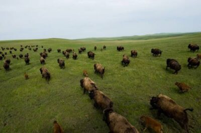 Photo: A large herd of bison (Bison bison) running across the prairie on the Triple U Bison Ranch near Fort Pierre, South Dakota.