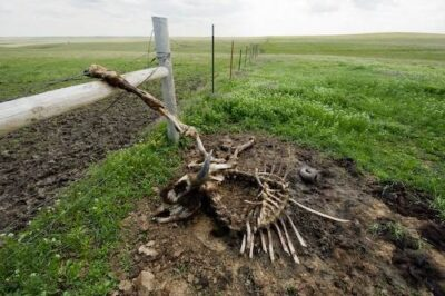 Photo: A deceased American bison (Bison bison) on the Triple U Ranch near Ft. Pierre, South Dakota.