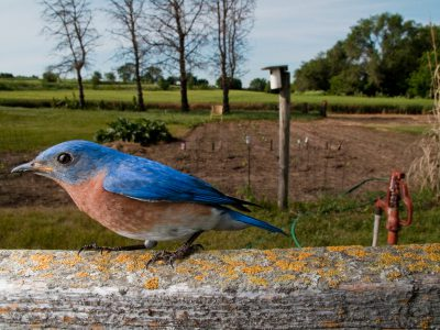 Picture of an eastern bluebird (Sialia sialis) near Pleasantdale, Nebraska.