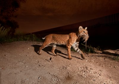 The US-Mexico border wall splits countries and habitat. Animals like this bobcat (Lynx rufus) or its cousin the ocelot, would normally cross the border to hunt or mate. Photograph by Joel Sartore with Mitch Sternberg, Jennifer Lowry, and Naghma Malik, all U.S. Fish and Wildlife Services.