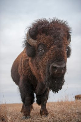 Picture of a bison (Bison bison) standing on the prairie at Maxwell State Game Preserve in Canton, Kansas.