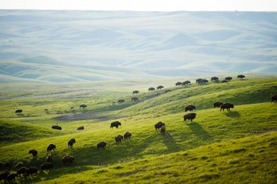 Picture of a herd of bison (Bison bison) running across the prairie on the Triple U Bison Ranch near Fort Pierre, South Dakota.