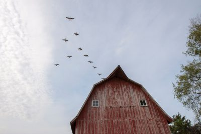 Photo: A flock of geese fly over a barn near Dunbar, Nebraska.