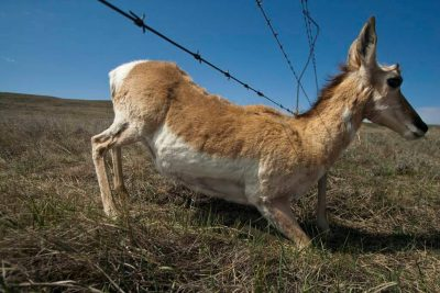 Photo: A pronghorn antelope sneaks under a barbed wire fence.