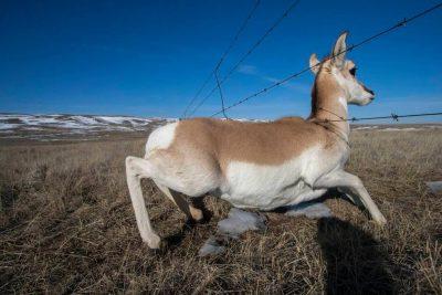 A pronghorn antelope, Antilocapra americana, crossing under a fence near Medicine Hat, Alberta, Canada.