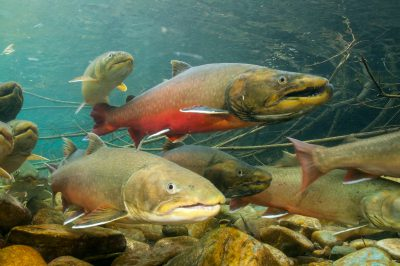 Photo: Bull trout swim 50 miles upstream from Lake Koocanusa to spawn in the Wigwam River drainage.