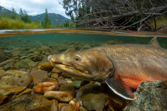 Photo: Bull trout (Salvelinus confluentus) swimming in the Bighorn Creek, in the Wigwam River drainage in British Columbia.