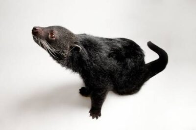 Picture of a vulnerable binturong (Arctictis binturong) at the Houston Zoo.