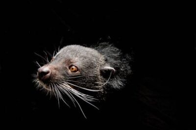Picture of a vulnerable binturong (Arctictis binturong) at the Houston Zoo