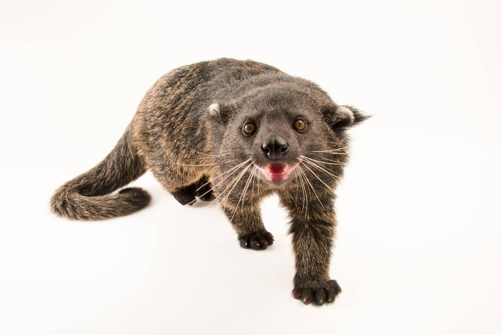 Picture of a vulnerable Palawan binturong (Arctictis binturong whitei) at the Nashville Zoo.