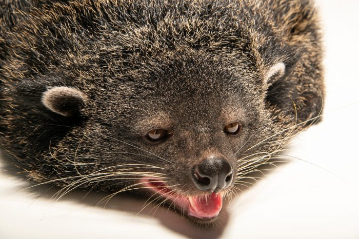 Photo: A Palawan binturong (Arctictis binturong whitei) at the Avilon Zoo. This species is listed as vulnerable on the IUCN red list.