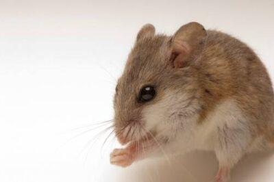 A federally endangered juvenile male Alabama beach mouse (Peromyscus polionotus ammobates).