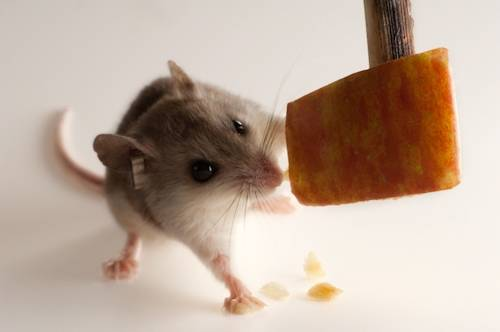 A federally endangered female Alabama beach mouse (Peromyscus polionotus ammobates), nibbles on some cheese.