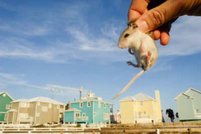 A federally endangered Alabama beach mouse (Peromyscus polionotus ammobates) among man-made structures on the Fort Morgan Peninsula near Gulf Shores, AL.