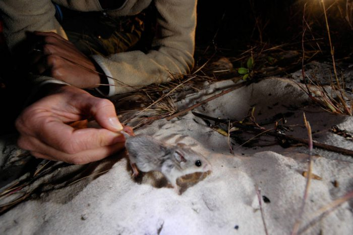 A federally endangered Alabama beach mouse (Peromyscus polionotus ammobates) is captured and measured as part of a population survey along the Fort Morgan Peninsula near Gulf Shores.