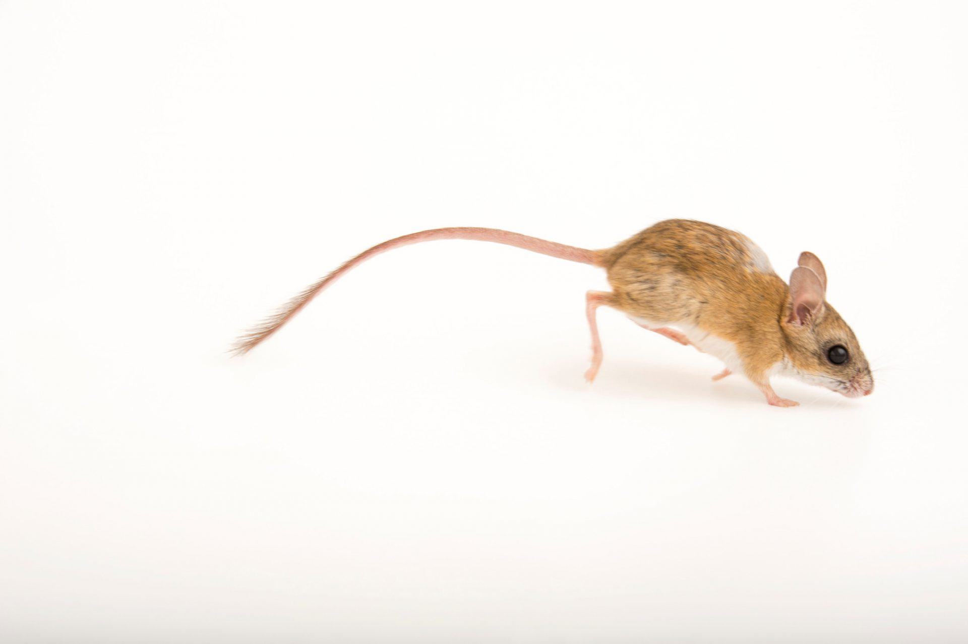 Picture of a spinifex hopping mouse (Notomys alexis) at the Wild Life Sydney Zoo.