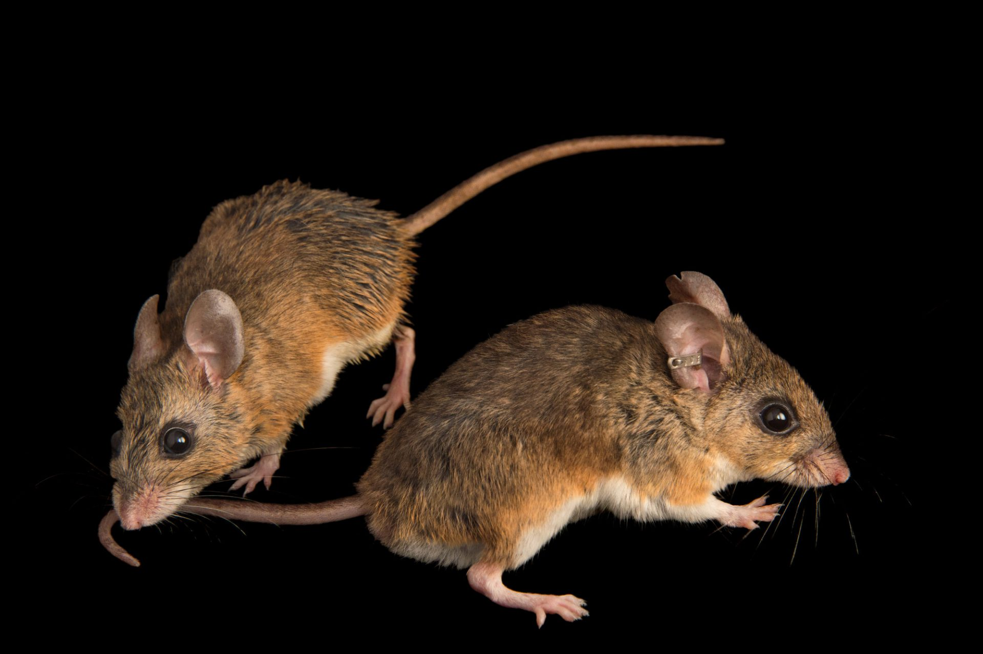 Picture of a vulnerable Florida deermice (Podomys floridanus) from the wild in Florida.