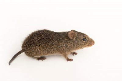 Picture of a Hispid cotton rat (Sigmodon hispidus floridanus) from the wild in Florida.