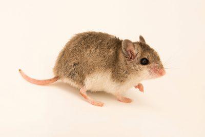 Northern grasshopper mouse, or killer mouse (Onychomys leucogaster) at Cedar Point Biological Station.
