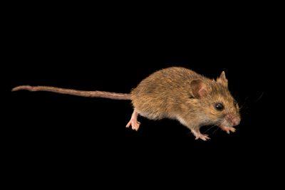 Western harvest mouse (Reithrodontomys megalotis) at Cedar Point Biological Station.