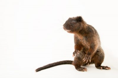 Picture of a vulnerable Southern luzon phloeomys (Phloeomys cumingi) at the Plzen Zoo in the Czech Republic.