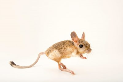 Photo: A vulnerable greater Egyptian jerboa (Jaculus orientalis) at the Plzen Zoo in the Czech Republic.