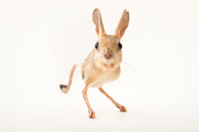 Picture of a vulnerable four-toed jerboa (Allactaga tetradactyla) at the Plzen Zoo in the Czech Republic.