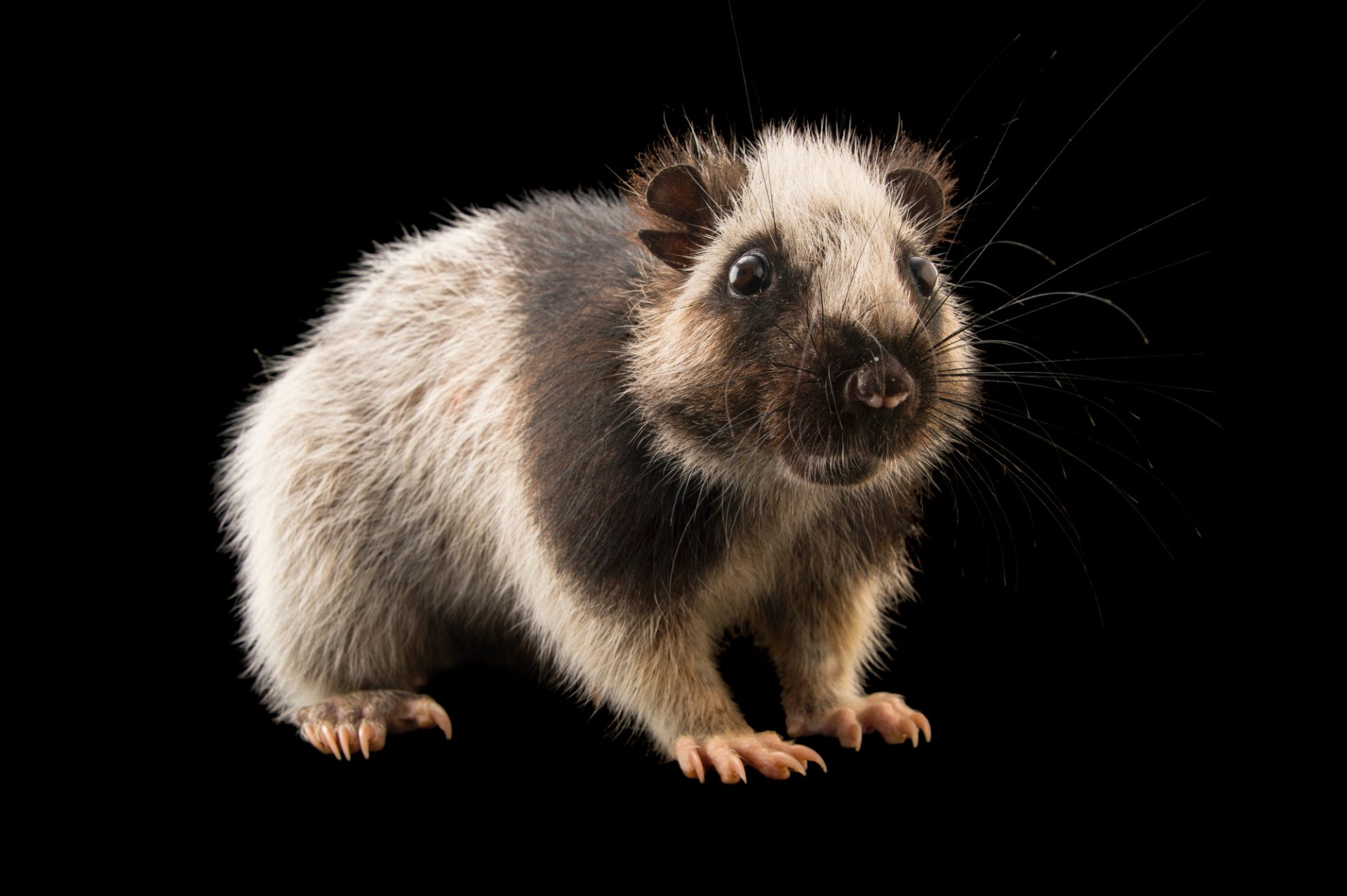 Picture of a Northern Luzon cloud rat (Phloeomys pallidus) at the Plzen Zoo in the Czech Republic.