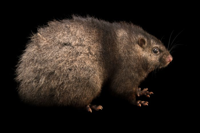 Picture of an endangered Panay cloudrunner (Crateromys heaneyi) at the Plzen Zoo in the Czech Republic.