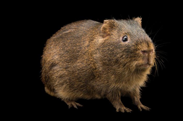 Photo: Swamp cavy or greater Guinea pig (Cavia magna) at the Plzen Zoo in the Czech Republic.