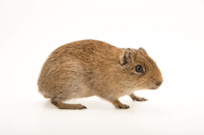 Photo: Bolivian cavy (Galea monasteriensis) at the Plzen Zoo in the Czech Republic.