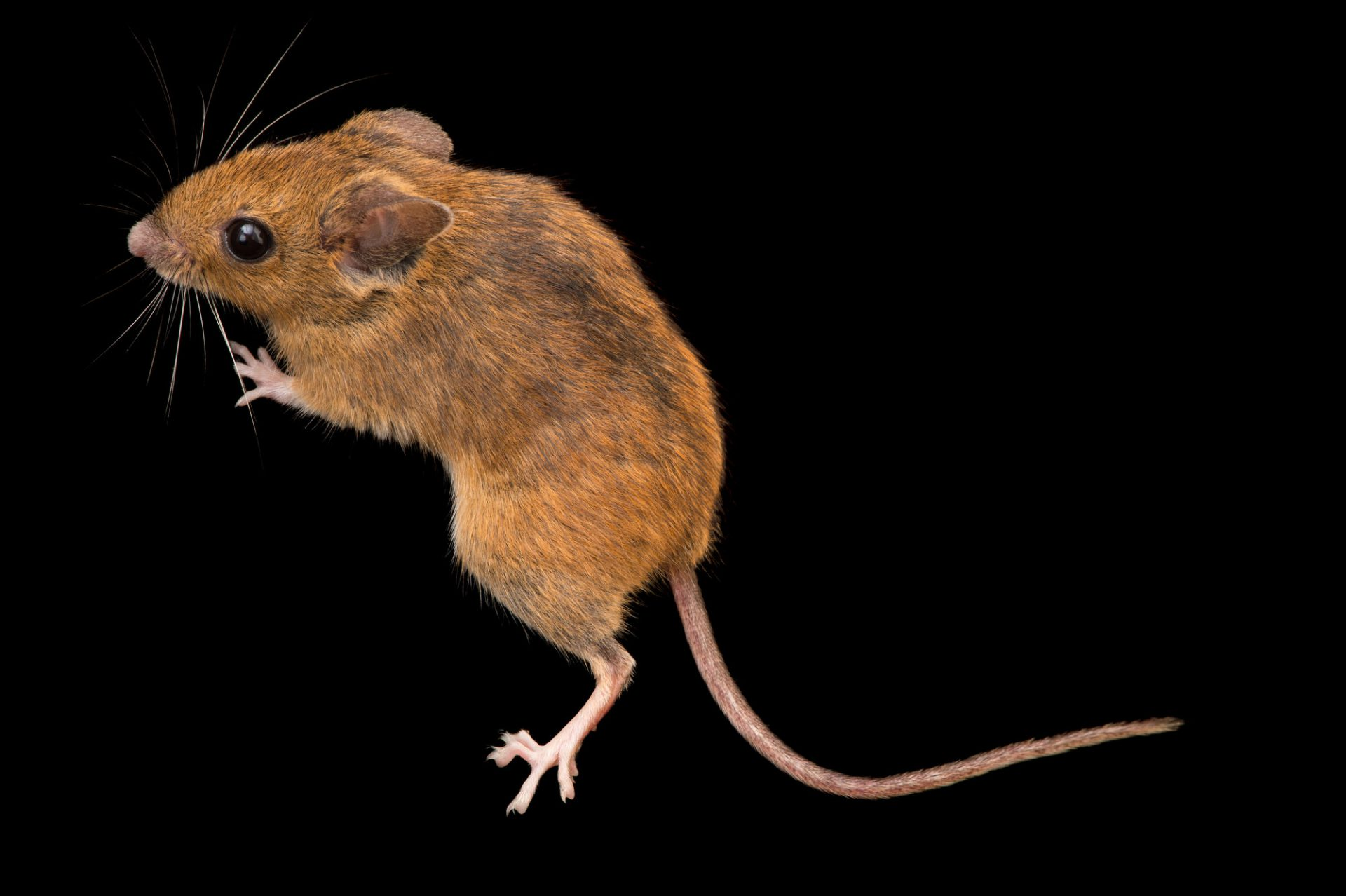 Photo: A wood mouse (Apodemus uralensis) at the Plzen Zoo in the Czech Republic.