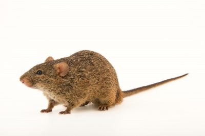 Photo: African grass rat (Arvicanthis niloticus niloticus) at the Plzen Zoo in the Czech Republic.