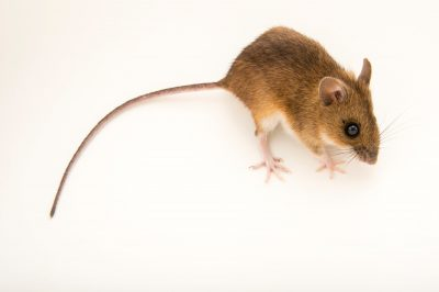 Photo: Alpine field mouse (Apodemus alpicola) at the Plzen Zoo in the Czech Republic.