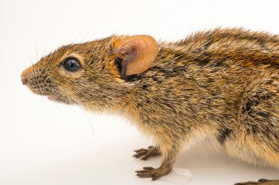 Four-striped grass mouse (Rhabdomys pumilio) at the Plzen Zoo in the Czech Republic.