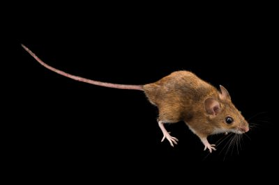 Photo: Long-tailed field mouse (Apodemus sylvaticus) at the Plzen Zoo in the Czech Republic.