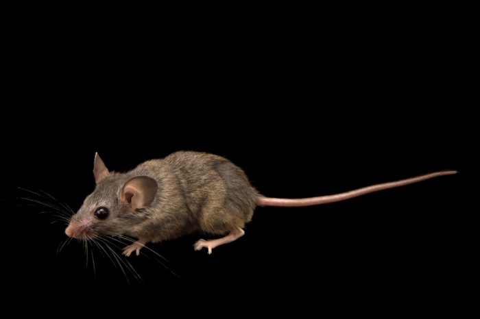 Picture of a cactus mouse (Peromyscus eremicus) at the Plzen Zoo in the Czech Republic.