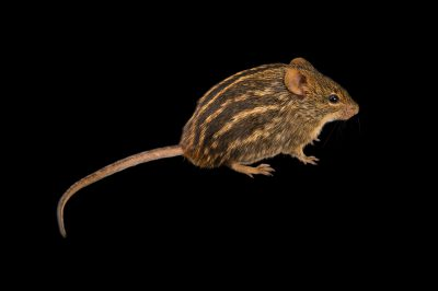 Photo: Typical striped grass mouse (Lemniscomys striatus) at the Plzen Zoo in the Czech Republic.