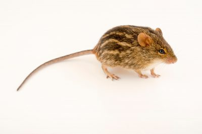 Photo: Typical striped grass mouse (Lemniscomys striatus aridens) at the Plzen Zoo in the Czech Republic.