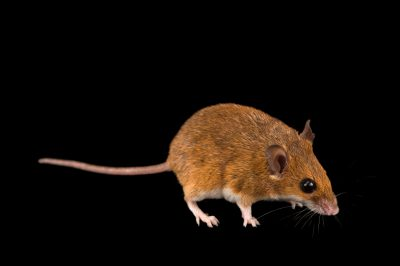 Photo: South African pygmy mouse (Mus minutoides) at the Plzen Zoo in the Czech Republic.