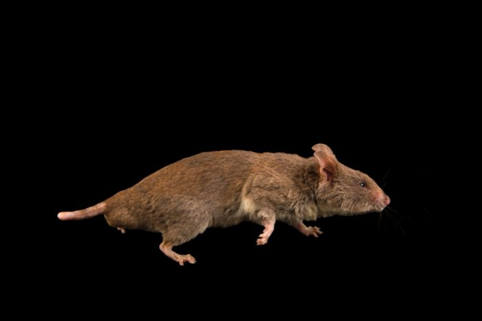 Photo: Lesser hamster rat (Beamys hindei) at the Plzen Zoo in the Czech Republic.