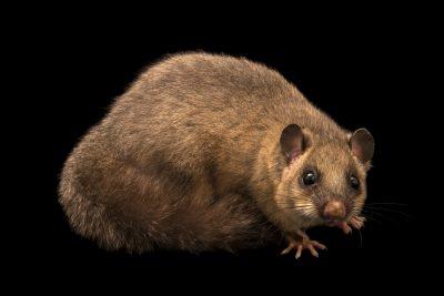 """Photo: A fat dormouse (Glis glis) at Centro Fauna Selvatica """"Il Pettirosso""""."""