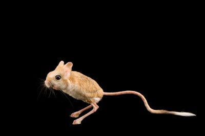 Photo: A male Lesser Egyptian jerboa (Jaculus jaculus) named Osiris at the Philadelphia Zoo.