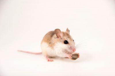 Photo: At Anastasia Island State Park, home to the federally endangered Anastasia Island beach mouse (Peromyscus polionotus phasma).