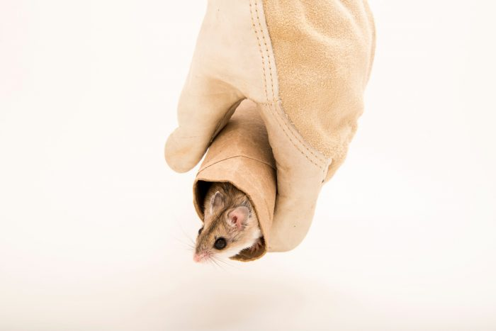 Southern grasshopper mouse or scorpion mouse (Onychomys torridus torridus) at Southwest Wildlife Conservation Center.