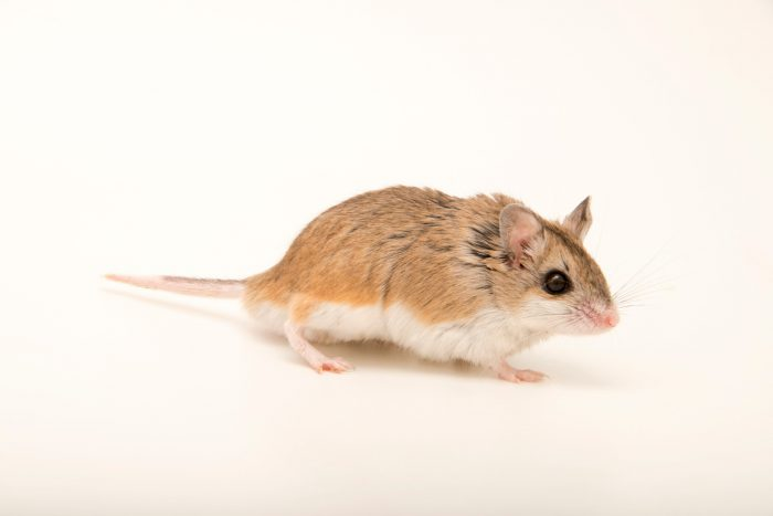 Southern grasshopper mouse or scorpion mouse (Onychomys torridus torridus) at Southwest Wildlife Conservation Center.