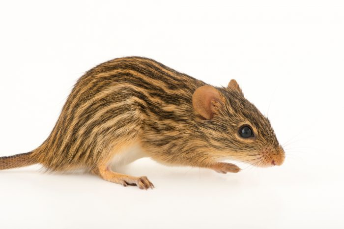 Photo: Barbary striped grass mouse (Lemniscomys barbarus) at the Budapest Zoo.