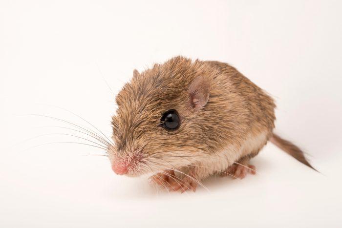 Photo: Desert pocket mouse (Chaetodipus penicillatus) at Liberty Wildlife.