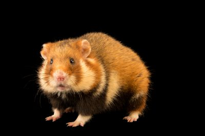 Photo: Common hamster or black-bellied hamster (Cricetus cricetus) at the Moscow Zoo.