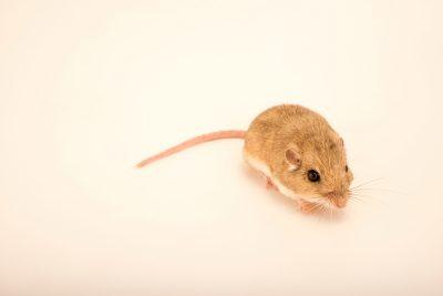 Photo: Arizona pocket mouse (Perognathus amplus) collected in Apache County, AZ.